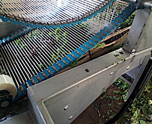 Tauchbecken für Blattsalate