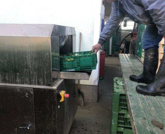 Ausgabe von gereinigtem Kopfsalat der Tunnelwaschmaschine